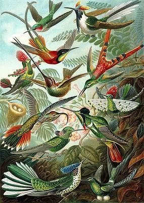 ERNST HAECKEL: HUMMINGBIRDS